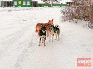 Стаи собак терроризируют жителей Добрянского округа